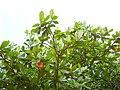 Terminalia catappa (108).jpg