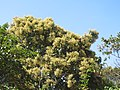 Terminalia paniculata - Kindal Tree flowers at Blathur 2017 (7).jpg