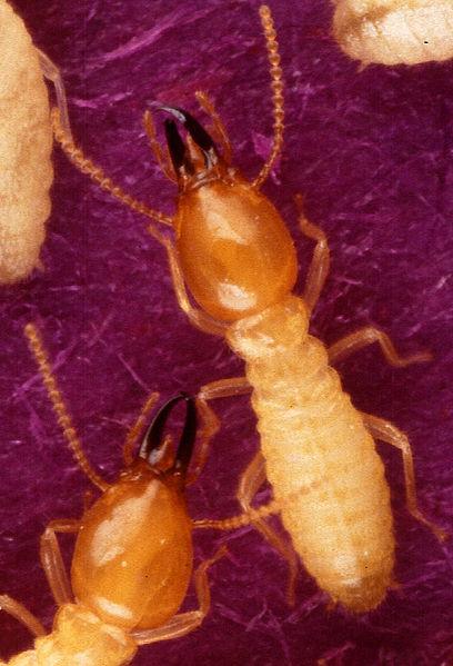 File:Termite-Formosan subterranean-soldiers-Tamil word17.2.jpg