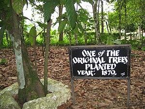 Tetteh Quarshie - Tetteh Quarshie Cocao Farm - One of the original trees, planted 1879