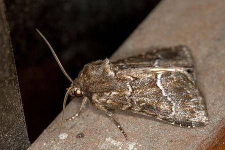 Thalpophila matura, Lodz(Poland)03(js).jpg