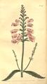 The Botanical Magazine, Plate 467 (Volume 13, 1799).png