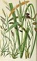 The British grasses and sedges (1858) (14783864753).jpg