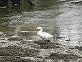 The Swan of Twryreryr - geograph.org.uk - 624093.jpg