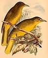 The birds of Celebes and the neighbouring islands - XXXII.jpg