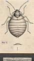 The common bedbug (Cimex lectularius). Pen and ink drawing b Wellcome V0022600EL.jpg