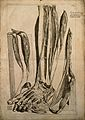 The extensor muscles of the foot dissected and left attched Wellcome V0007764.jpg