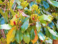 The flowers of clove tree in Pemba island.JPG