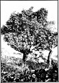 The indigenous trees of the Hawaiian Islands (1913) (20538034550).jpg