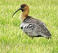 Theristicus melanopsis - Flickr - Dick Culbert.jpg