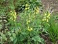 Thermopsis villosa.jpg