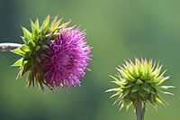 Thistle baby and her mum (Asteraceae family) by Musli Berisha- mibe.jpg