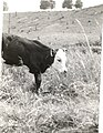 Three-Legged Calf - NARA - 12043708.jpg