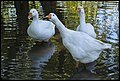 Three White Geese at Richmond-1 (17128624927).jpg