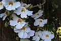 Thunbergia grandiflora white (185932579).jpg