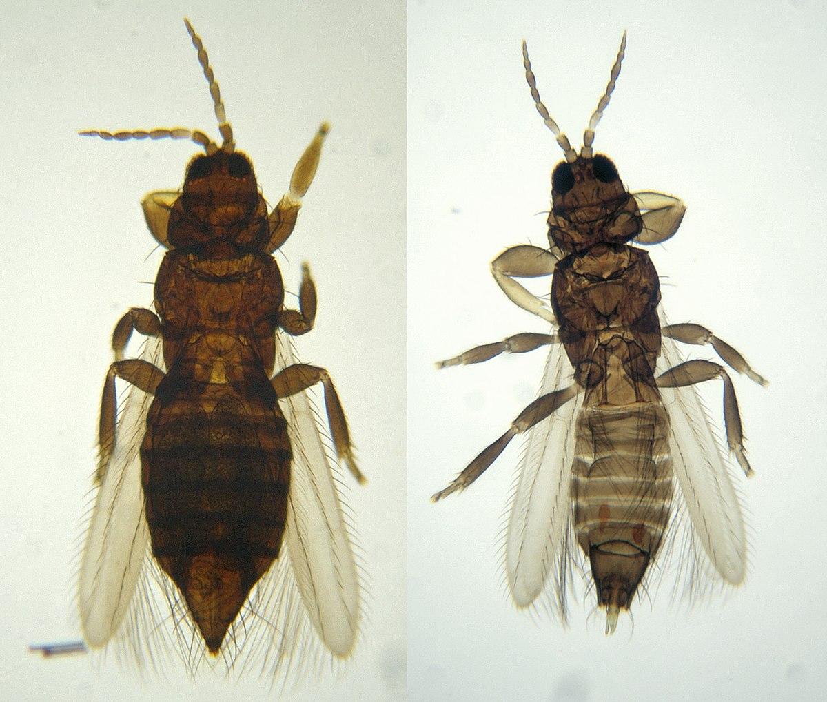 Thysanoptera wikipedia la enciclopedia libre - Bichos en casa fotos ...