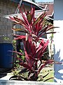 Ti plant (Cordyline fruticosa) Buton Island.jpg