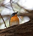 Tickell's Blue Flycatcher (Cyornis tickelliae)- Male in Hyderabad, AP W IMG 7828.jpg