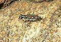 Tiger beetle3.jpg