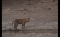 Tiger in Ranthambore 22.png