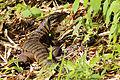 Tiger lizard (Gold tegu) (Tupinambis teguixin).JPG