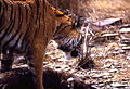 Tigress (Panthera tigris) with prey - a Sambar doe (19201281484).jpg