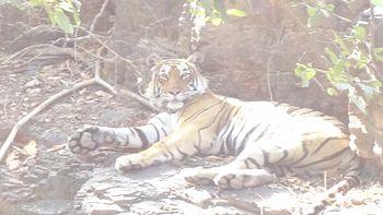 Tigress relaxing in Ranthambhore National Park, Rajastan, India.jpg
