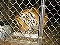 Tony the Tiger - panoramio.jpg