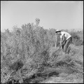 "Topaz, Utah. a young resident farm worker ""heaves to"" with a grub axe to clear sagebrush and scrub . . . - NARA - 538702.tif"