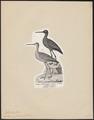 Totanus fuscus - 1809-1845 - Print - Iconographia Zoologica - Special Collections University of Amsterdam - UBA01 IZ17400125.tif