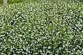 Trachelospermum jasminoides kz4.jpg