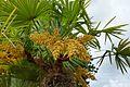 Trachycarpus fortunei-Parc du Grand Blottereau (9).jpg