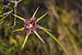 Tragopogon porrifolius australis, Sète 01.jpg