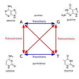 Definizione di transizione genica e di trasversione. Entrambe sono mutazioni che vengono comunemente causate da composti genotossici.
