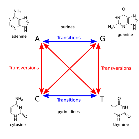 Transversions and transitions
