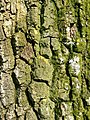 Tree bark, Lydiard Park, Swindon - geograph.org.uk - 384603.jpg