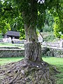 Tree in the Roman Villa grounds - geograph.org.uk - 535574.jpg