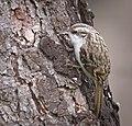 Treecreeper (49524520131).jpg