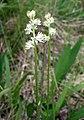 Triantha glutinosa.jpg