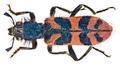 Trichodes umbellatarum (Olivier, 1795) (15696533879).png