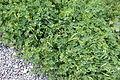 Trifolium Villa dei Quintili IMG 0321.JPG