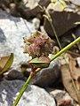 Trifolium resupinatum sl11.jpg