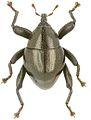 Trigonopterus eremitus holotype - ZooKeys-280-001-g028.jpg