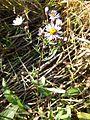 Tripolium pannonicum subsp. pannonicum sl6.jpg