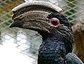 Trumpeter Hornbill (Bycanistes bucinator) male captive ... (32171279543).jpg