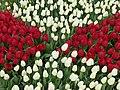 Tulip 1300194.jpg