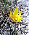 Tulipa australis1.jpg