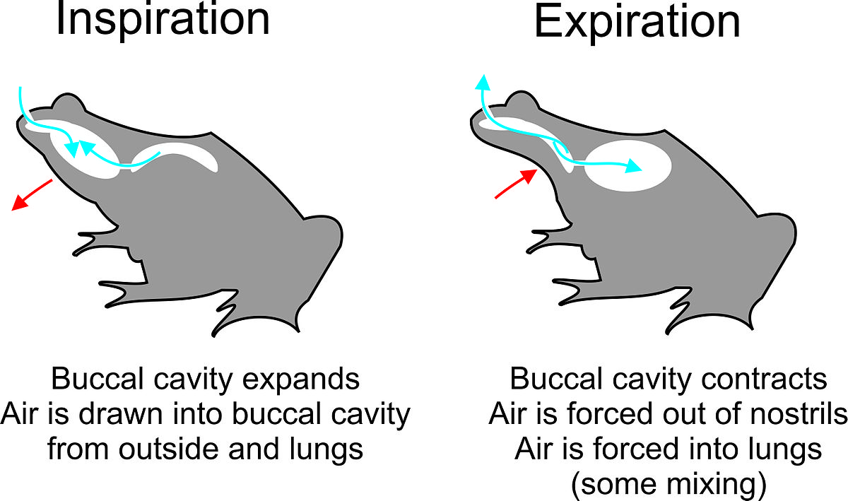 What Is the Function of the Buccal Cavity?