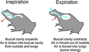 Buccal pumping - Image: Two stroke buccal pumping