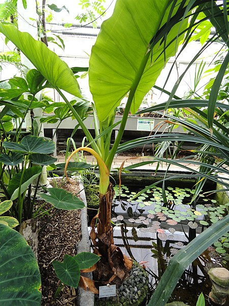 TÌNH YÊU CÂY CỎ ĐV.3 - Page 13 450px-Typhonodorum_lindleyanum_-_Copenhagen_Botanical_Garden_-_DSC07966